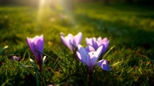 Stock-photo.-Spring-Crocus-3
